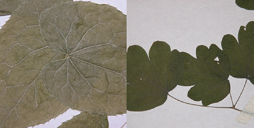 삼지구엽초