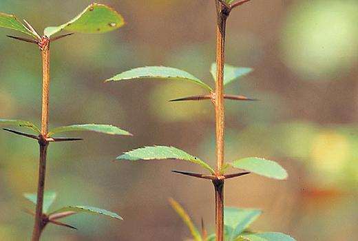 매발톱나무