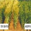 강호<span class='blue'>쌀</span>보리 (이리36호)이미지