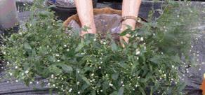 2.비료가 바로 뿌리에 닿지 않도록 다시 한 번 배양토를 깐 후 식물을 식재한다. 브라이달베일을 화분 가장자리에 먼저 심는다.