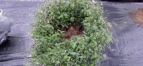 3.브라이달베일 2포트를 둥글게 심고 사이사이에 베양토를 잘 채워 준다.
