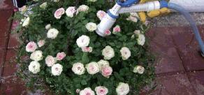 5.식물 사이를 배양토로 채우고 제일 윗부분은 마른 이끼를 물에 충분히 적신 후 깔아 주어 마무리한다. 물 줄때 가벼운 펄라이트가 떠서 흘러내리는것을 방지할 수도 있고 수분 유지에도 효과가 있기 때문이다. 물을 충분히 준다.