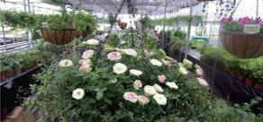 6.꽃이 피고 나 후 재빨리 시든 봉오리를 제거해 주어야 다음 꽃이 빨리 핀다.