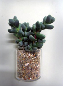 벽어연(실내에도 잘 견디는 다육식물)사진