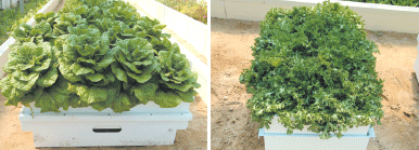 그림2. 옥상텃밭용 심지관수 재배상자를 활용한 채소재배