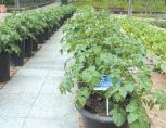 덩이줄기 감자 사진
