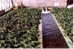 물재배 방법으로 생육하고 있는 고추냉이
