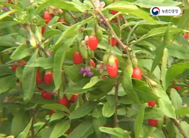 동영상 썸네일 이미지 :구기자의 재배와 이용
