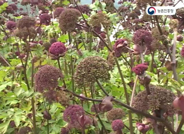 동영상 썸네일 이미지 :당귀의 재배와 이용