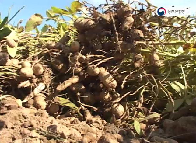 동영상 썸네일 이미지 :땅콩 재배기술