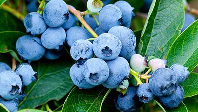 고품질 블루베리 생산 위한 월동 전 과원관리 요령