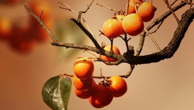 과일 품질을 높이는 수확적기와 과수원 관리