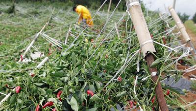 태풍대비 수확기 농작물·시설물 관리요령