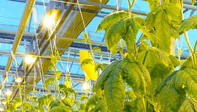 겨울철 시설채소 보광재배로 수확량 증대