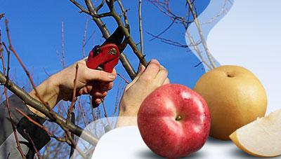 배·사과 과수원 겨울철 가지다듬기 요령