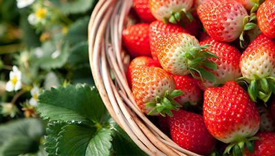 여름철 휴경기 관리로 딸기 뿌리썩이선충 잡는다