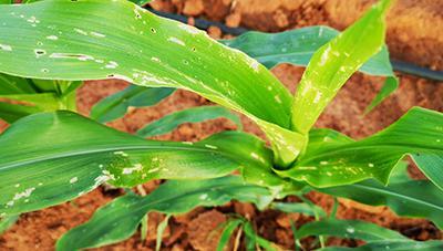 열대거세미나방은 정밀예찰과 적기방제가 최선