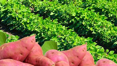 고품질 고구마 생산 위한 본밭 관리 요령