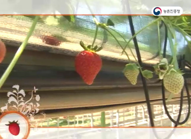 고랭지 여름딸기 재배