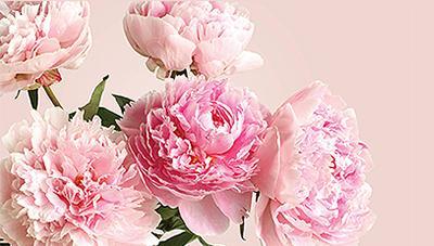 화려한 꽃과 다양한 효능의 뿌리를 가진 작약