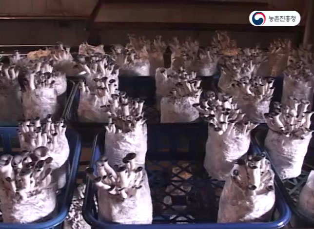 동영상 썸네일 이미지 :느타리버섯 재배기술