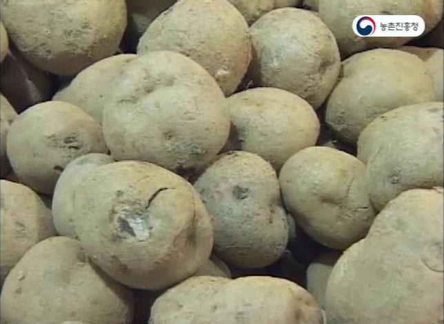 감자가루 만들기와 이용법
