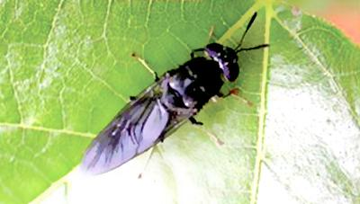 환경 정화 곤충 동애등에를 아십니까 ?