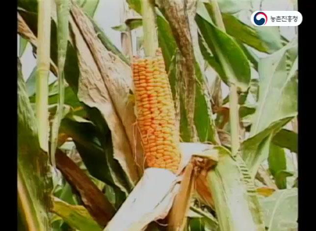 사료용 옥수수 재배기술