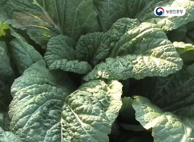 동영상 썸네일 이미지 :갓 재배기술