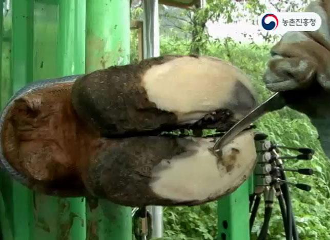 젖소 발굽질병 예방과 치료기술