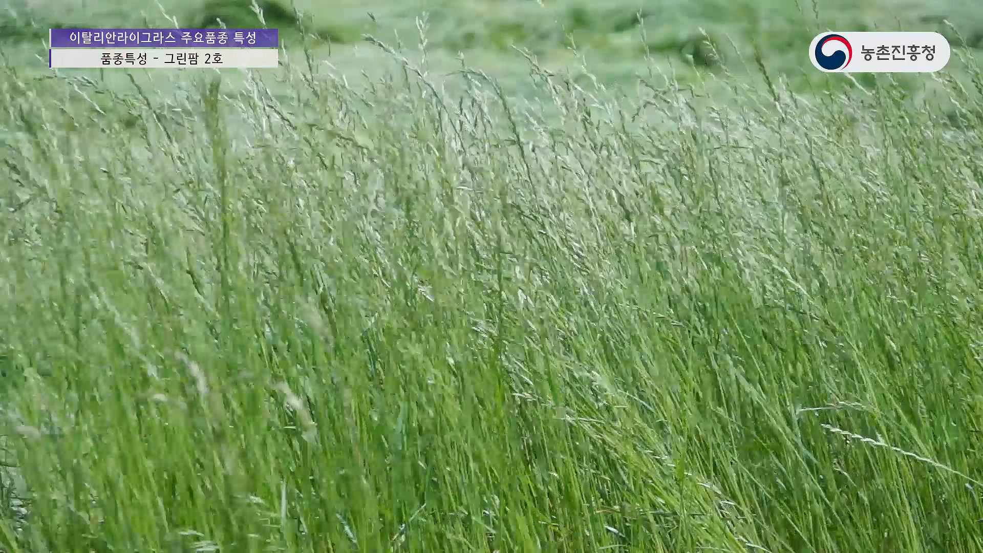 이탈리안라이그라스 주요품종 특성