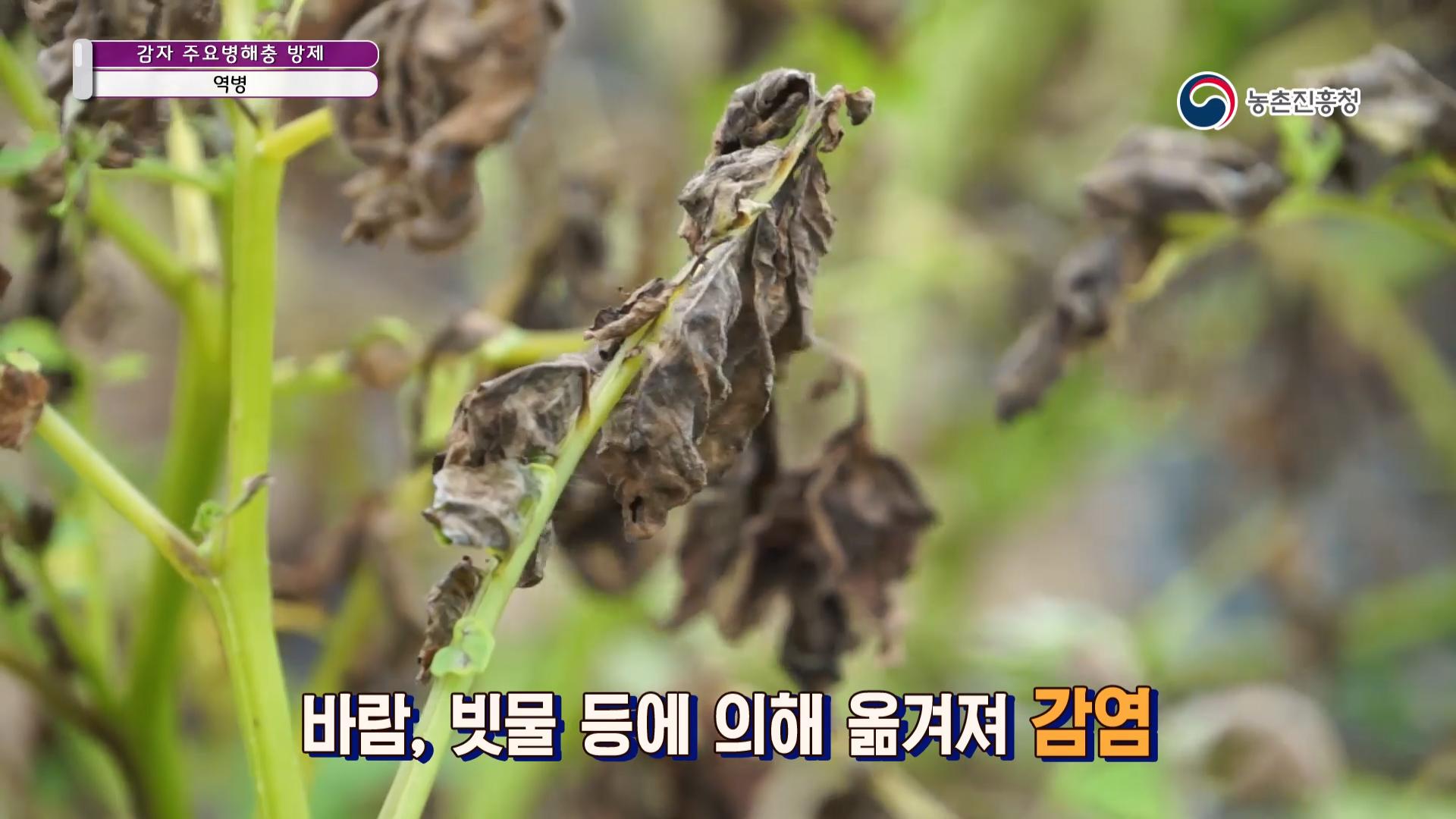 감자 주요 병해충 방제