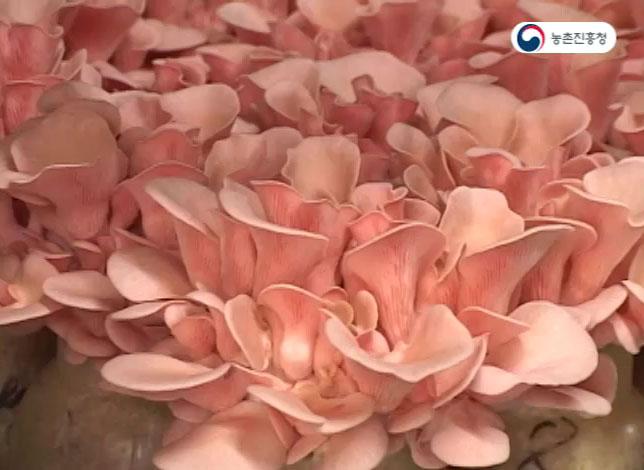 동영상 썸네일 이미지 :느타리버섯 신품종 특성