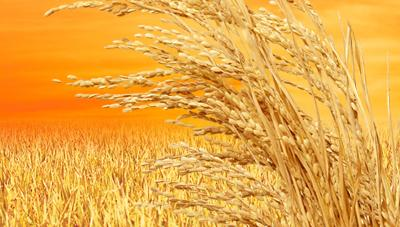 최고품질 쌀 생산을 위한 벼 적기수확 및 수확 후 관리기술