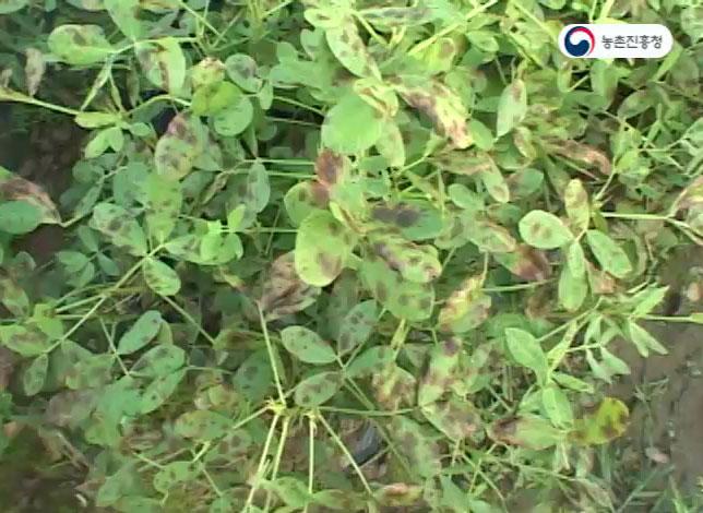 동영상 썸네일 이미지 :땅콩 주요 병해충 증상과 방제