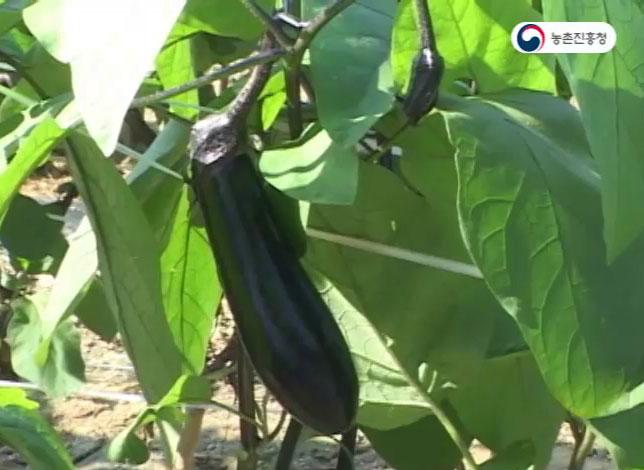 가지 주요품종특성 및 병해충방제