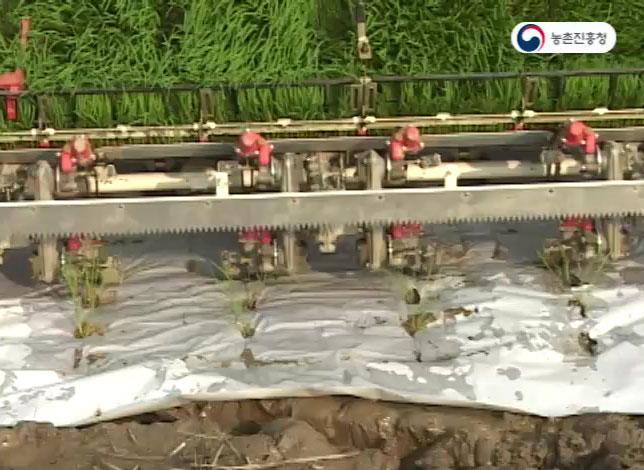 벼 종이멀칭 기계이앙 재배