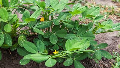 고품질 풋땅콩 생산 재배기술
