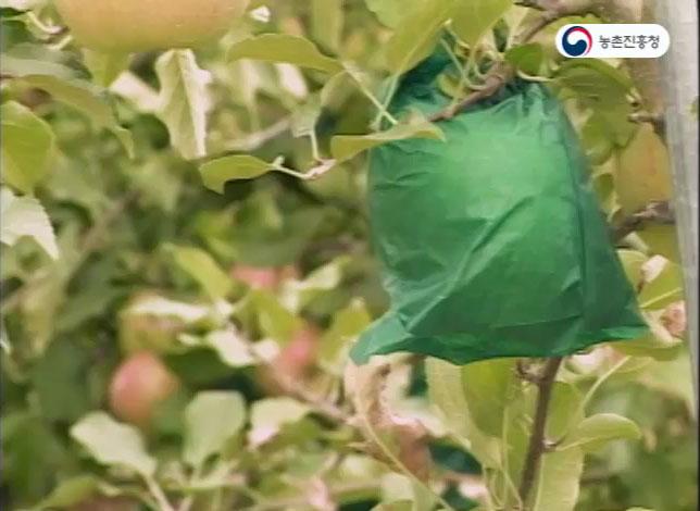고품질 사과 봉지재배