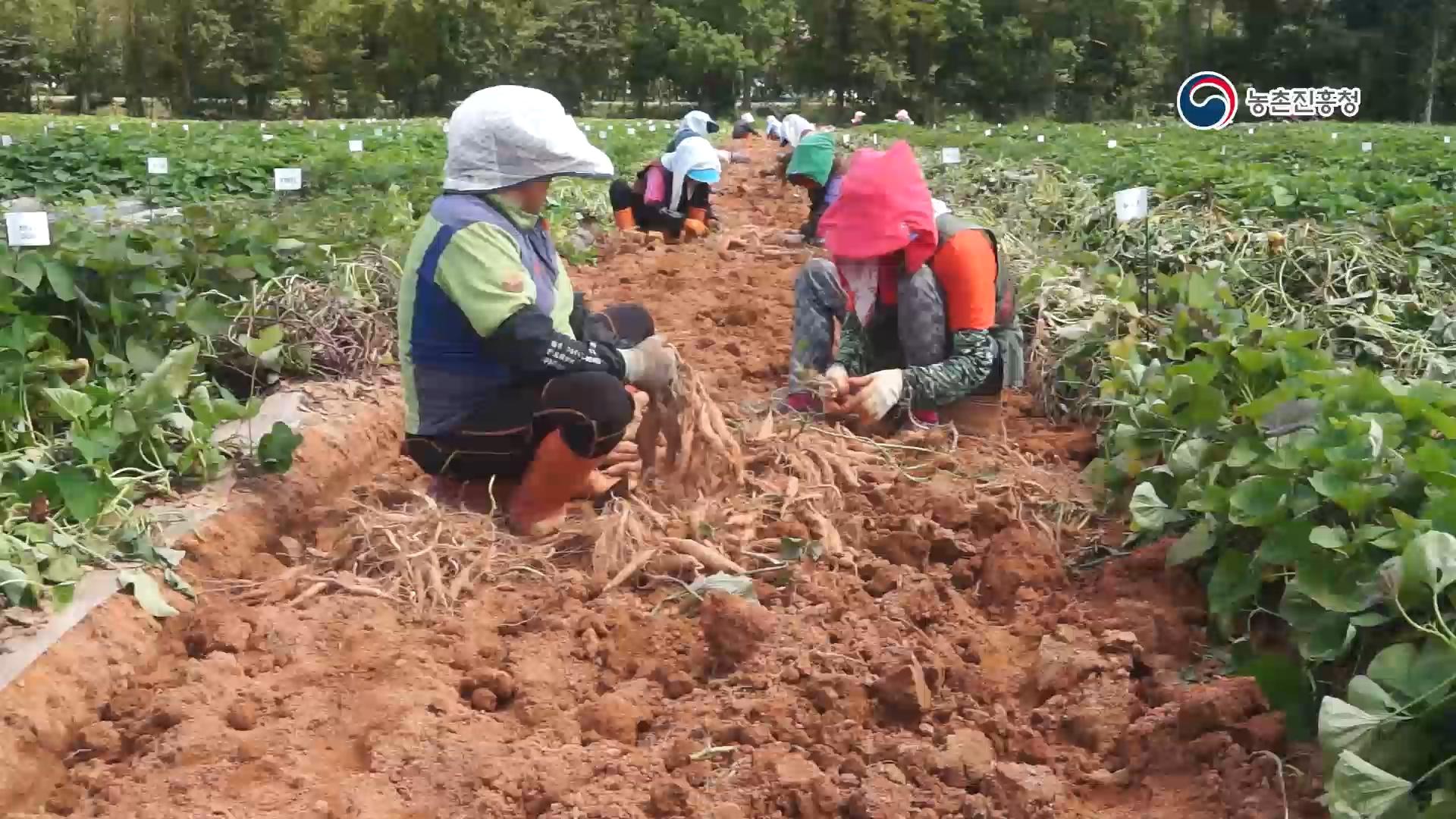 고구마 재배하기