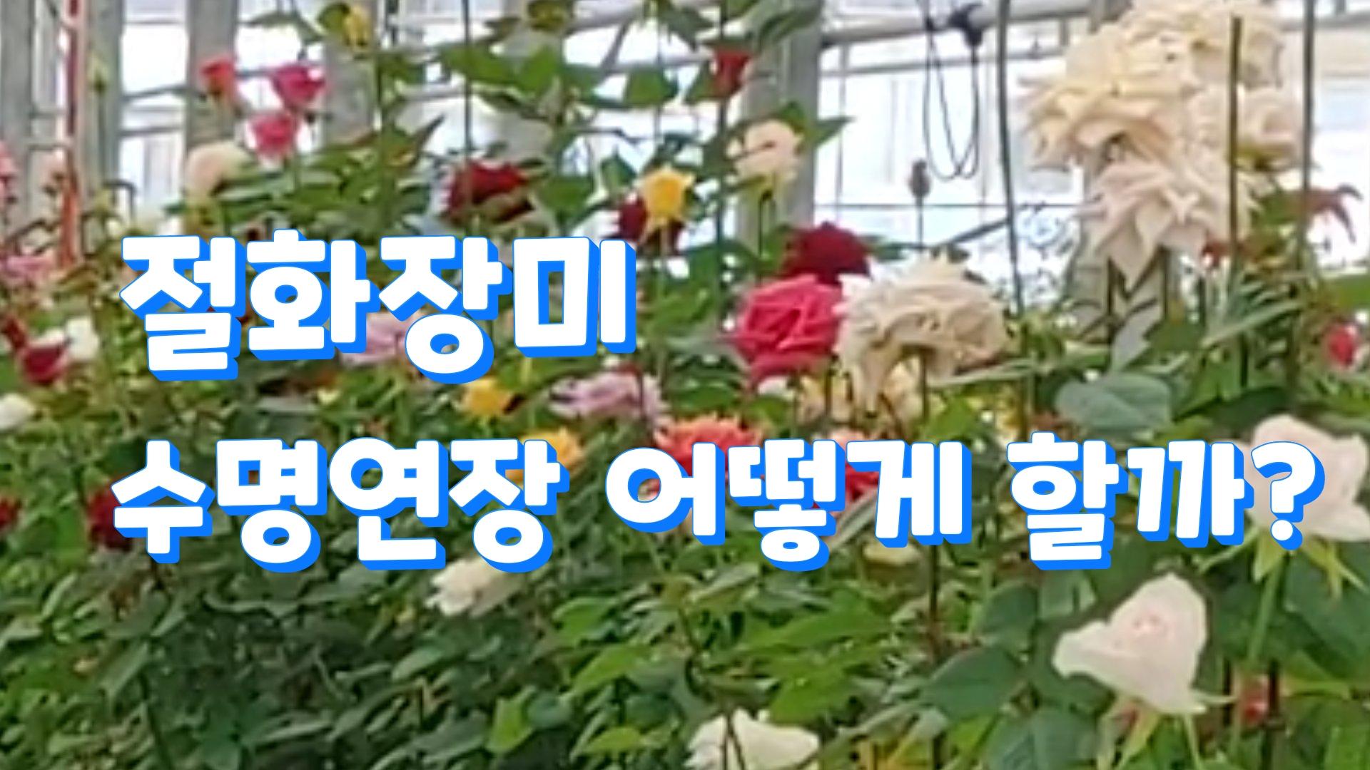 (with 귀농7년차) 절화용 장미 수명 연장기술