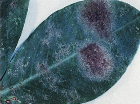 그물무늬병 사진