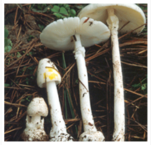 독우산광대버섯