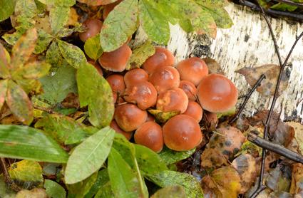 개암버섯(식용버섯)