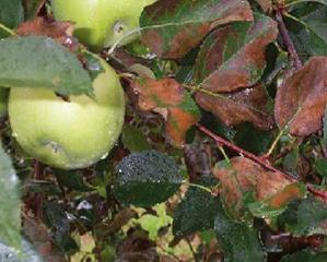 잎타기 증상
