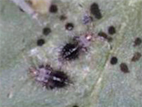 진달래방패벌레 약충