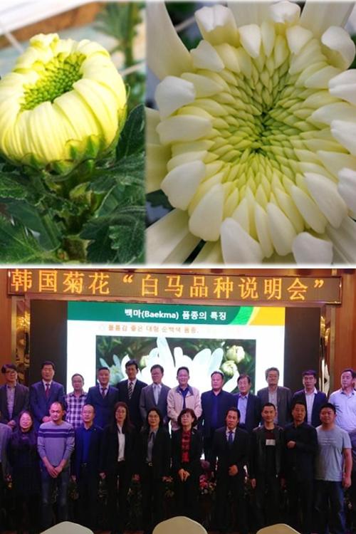 국산 국화품종 '백마', 중국시장 진출 박차