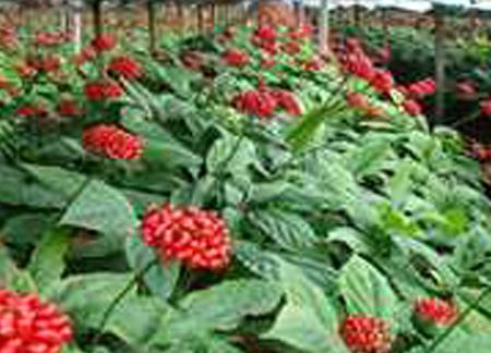 인삼재배(해가림)모습